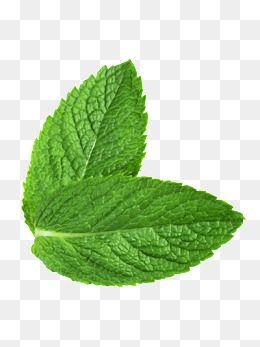 Green Fresh Mint Leaves in 2019.