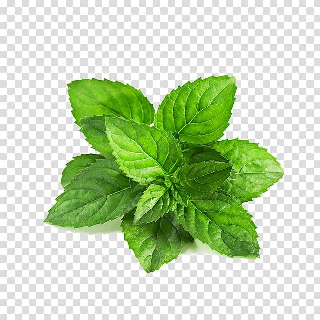 Mint leaf illustration, Peppermint Mentha spicata Leaf.