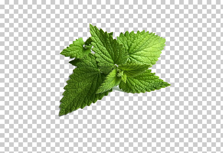 Mentha spicata Peppermint Wild mint Water Mint, Leaf PNG.