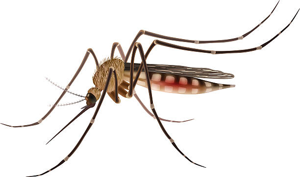 Mosquito clipart 1 » Clipart Station.