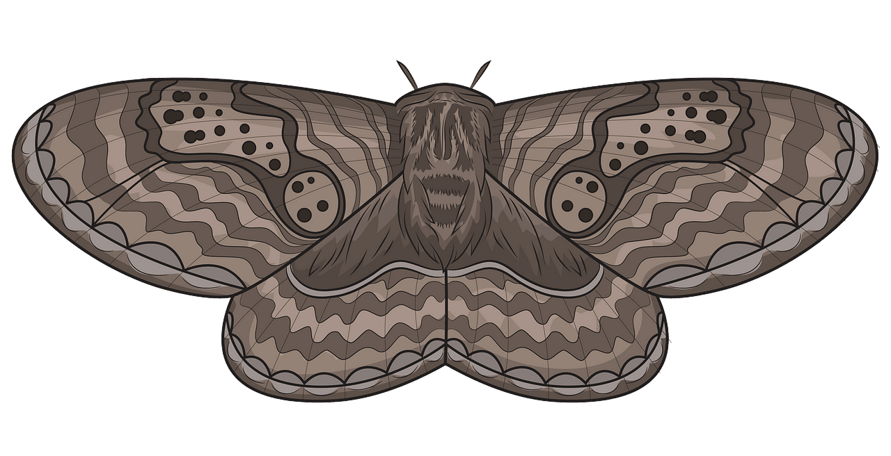 Brahmeid Moth clipart. Free download..