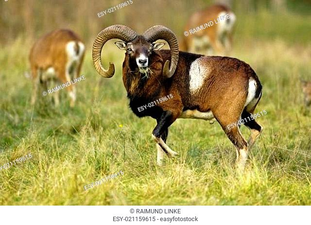 Hunting moufflon Stock Photos and Images.