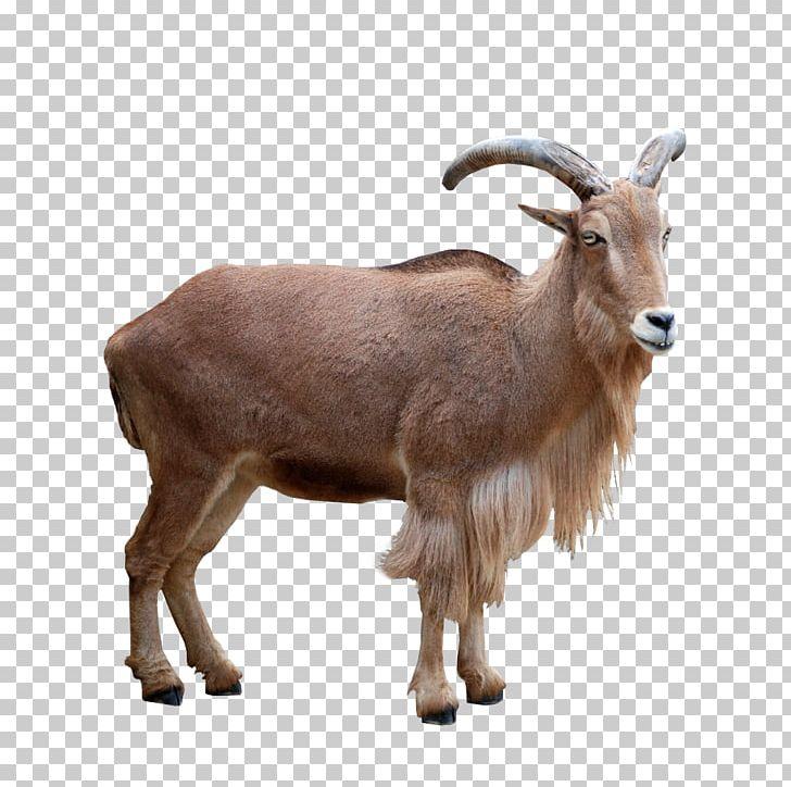 Barbari Goat Barbary Sheep Mouflon Deer PNG, Clipart, Animal.