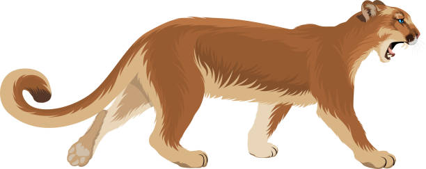 Best Mountain Lion Illustrations, Royalty.
