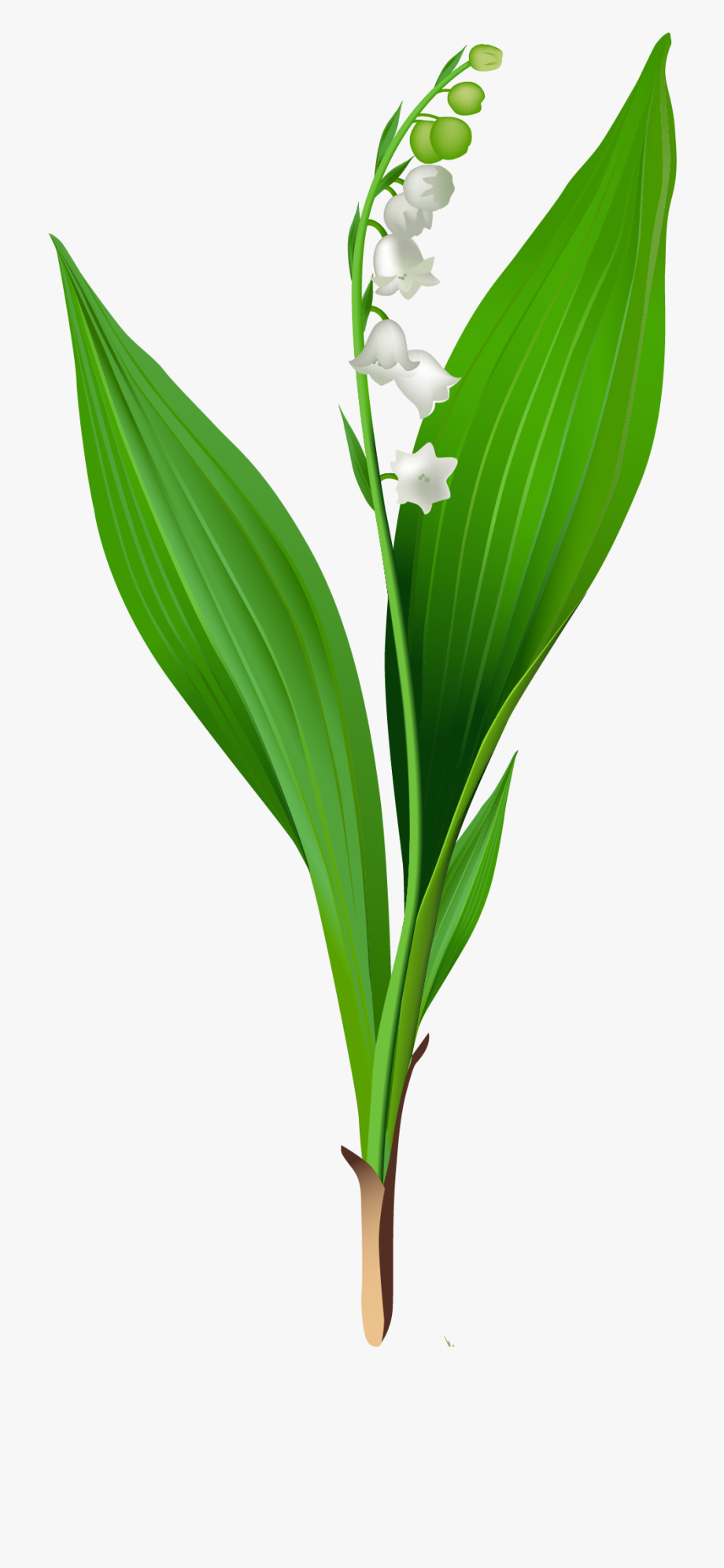 Flowers For > Lily Of The Valley Clip Art.