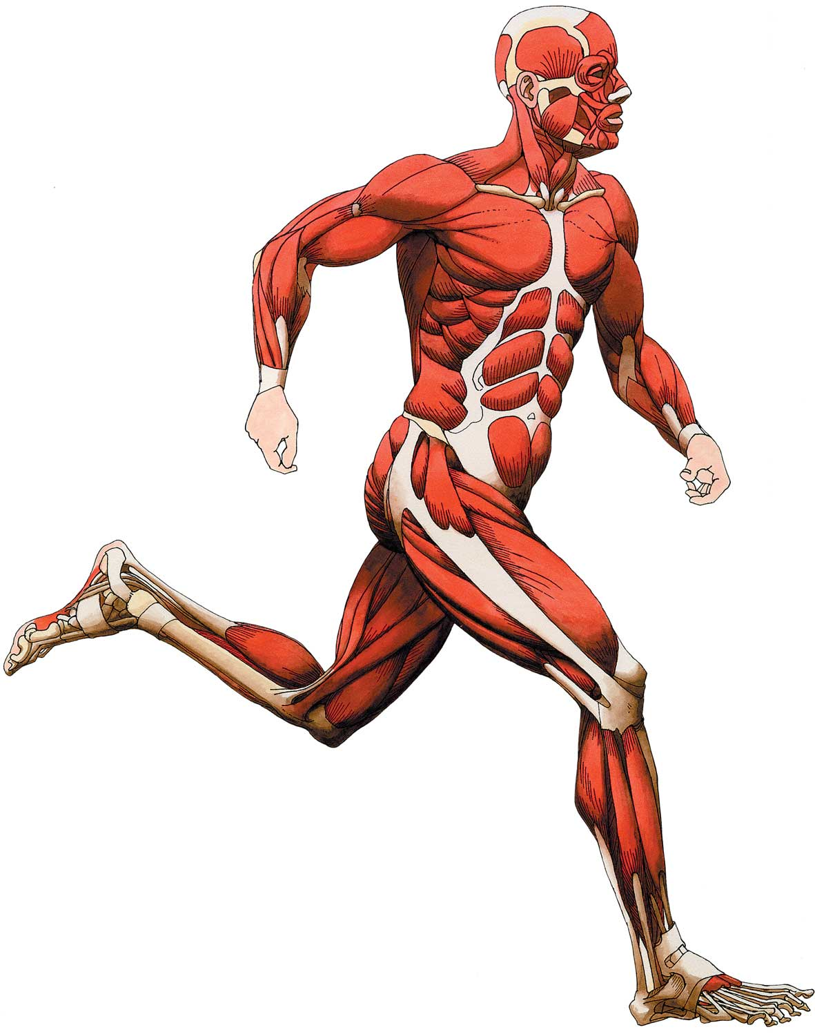 Free Muscular System Cliparts, Download Free Clip Art, Free.