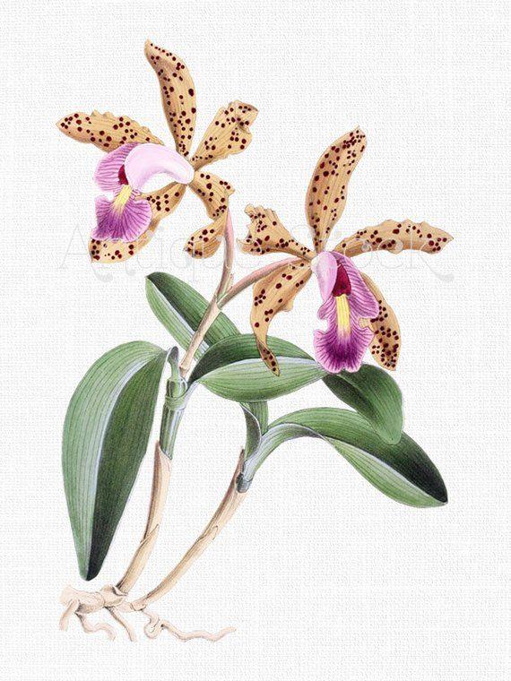 Botanical Illustration, Flower Clip Art, Digital Image.