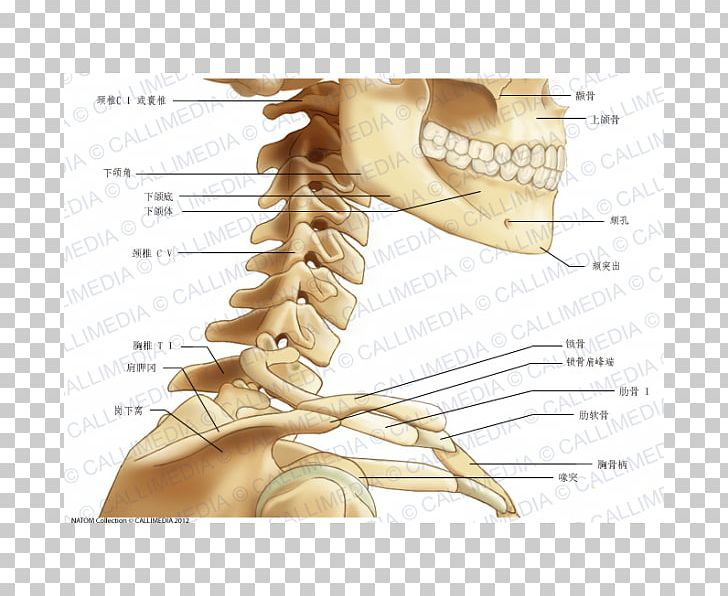 Neck Bone Human Anatomy Head PNG, Clipart, Abdomen Anatomy.
