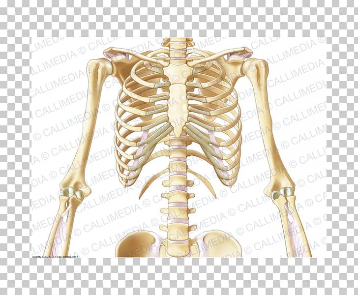 Shoulder Pelvis Bone Thorax Neck, Skeleton PNG clipart.