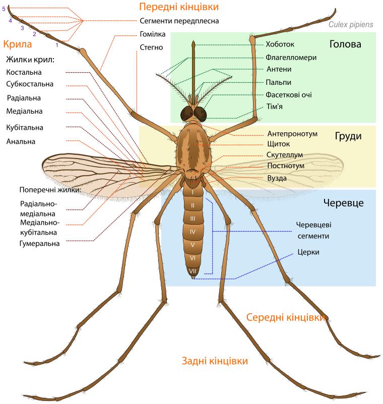 Free Clipart: Mosquito parts UA.