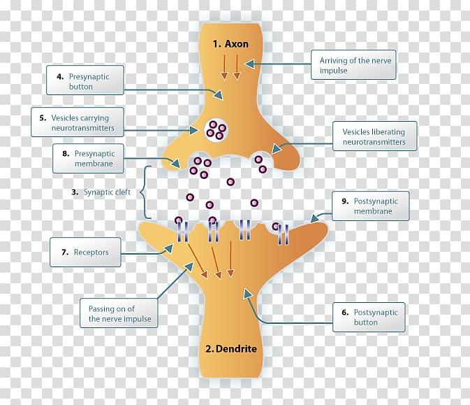 Synapse Neurotransmitter Neuron Nervous system Synaptic.