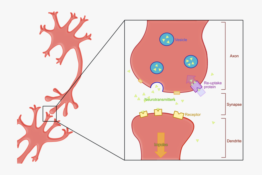 Neuron Clipart Two.
