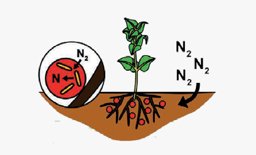 Biological Nitrogen Fixation.