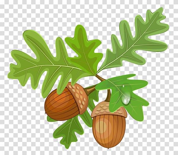Acorn Oak , oak transparent background PNG clipart.