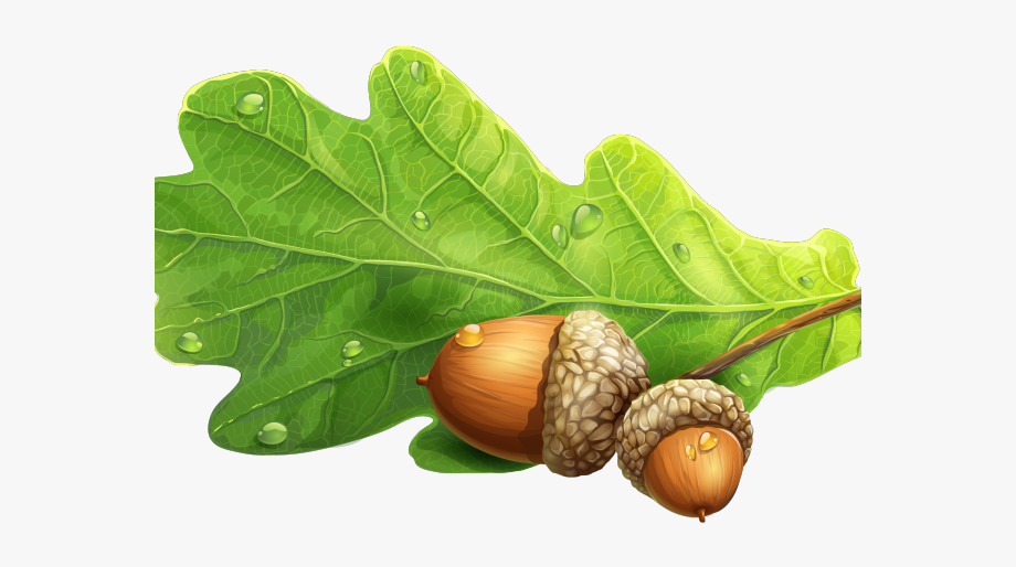 Acorn Clipart Oak Leaf.