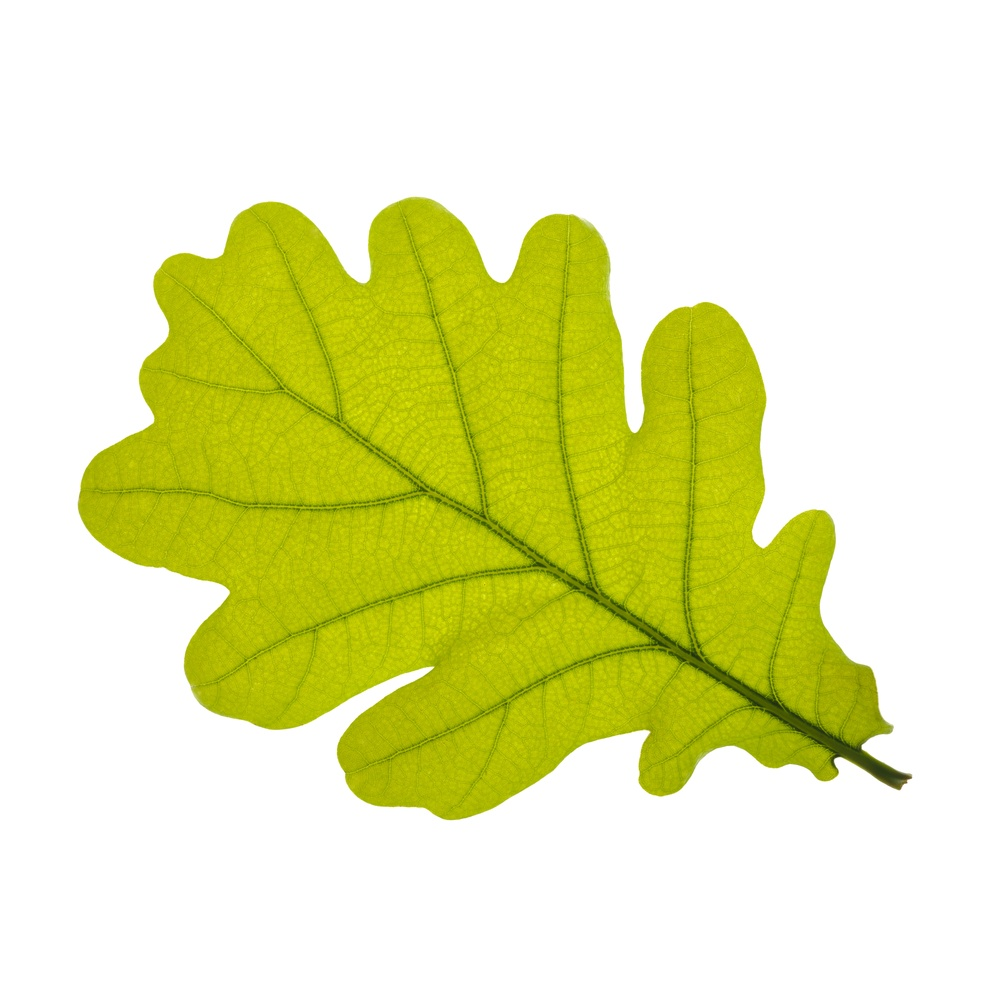 Oak Leaves Clipart.
