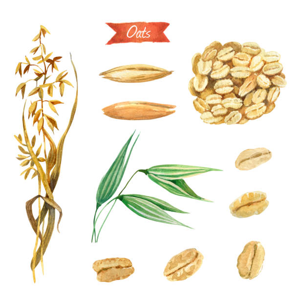Best Oats Illustrations, Royalty.