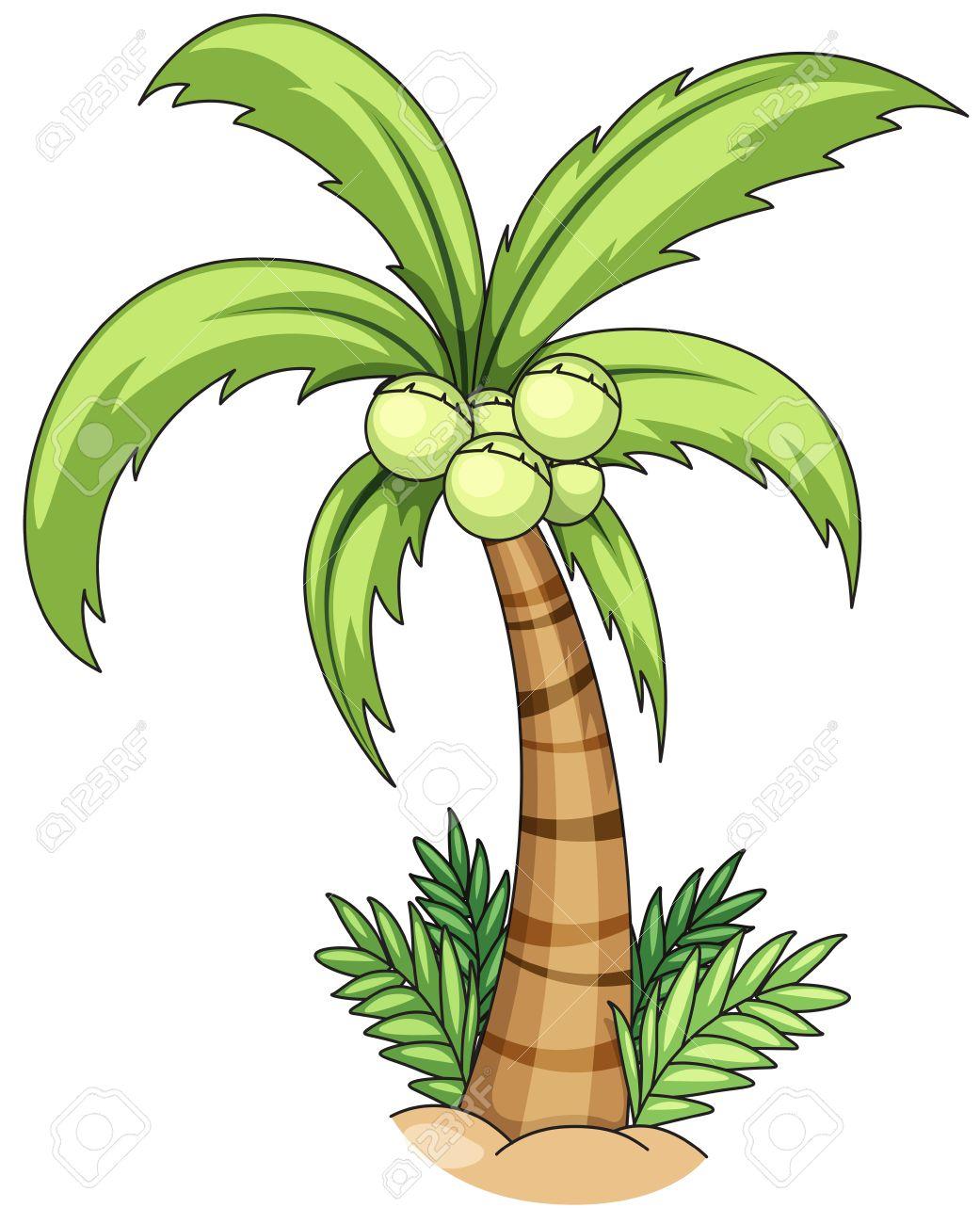 Closeup single coconut tree with coconuts.