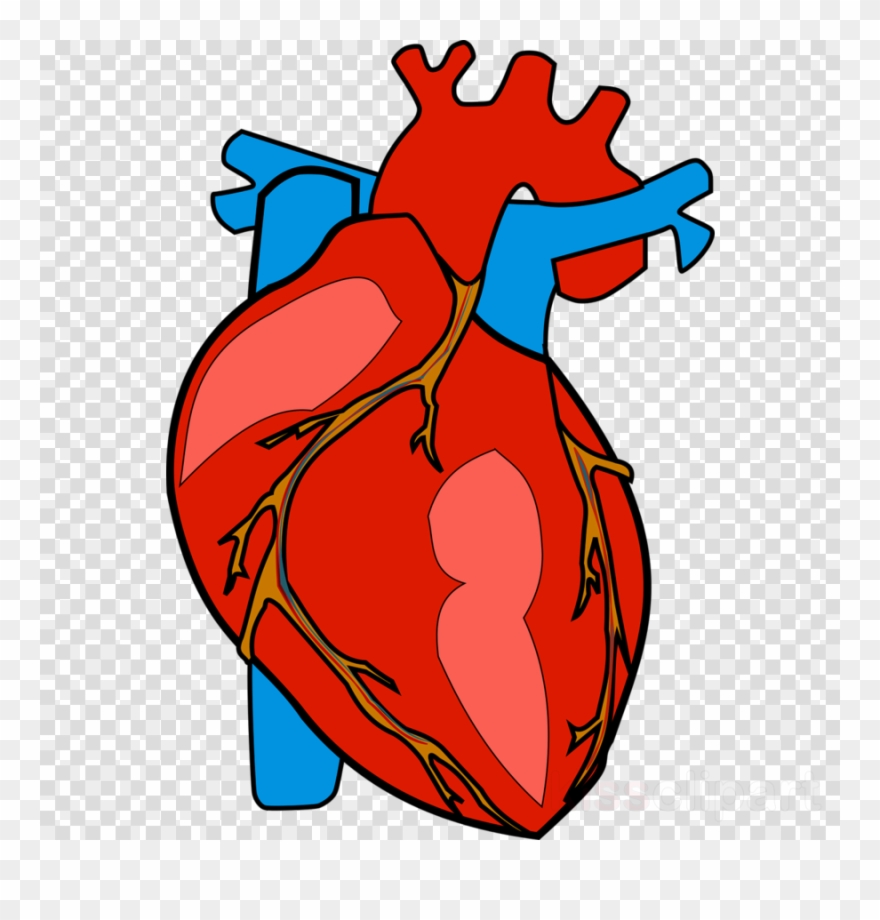 Human Heart Clipart Heart Clip Art.