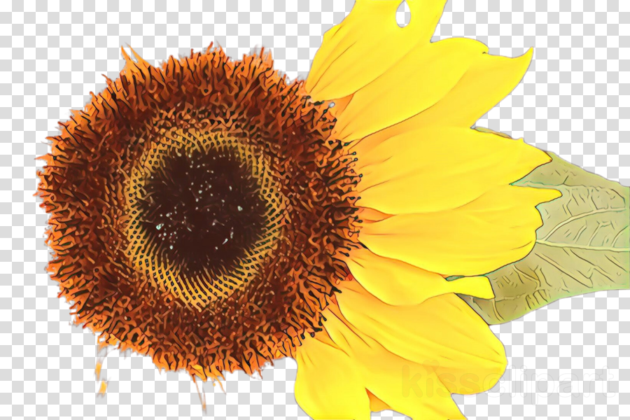 Sunflower clipart.