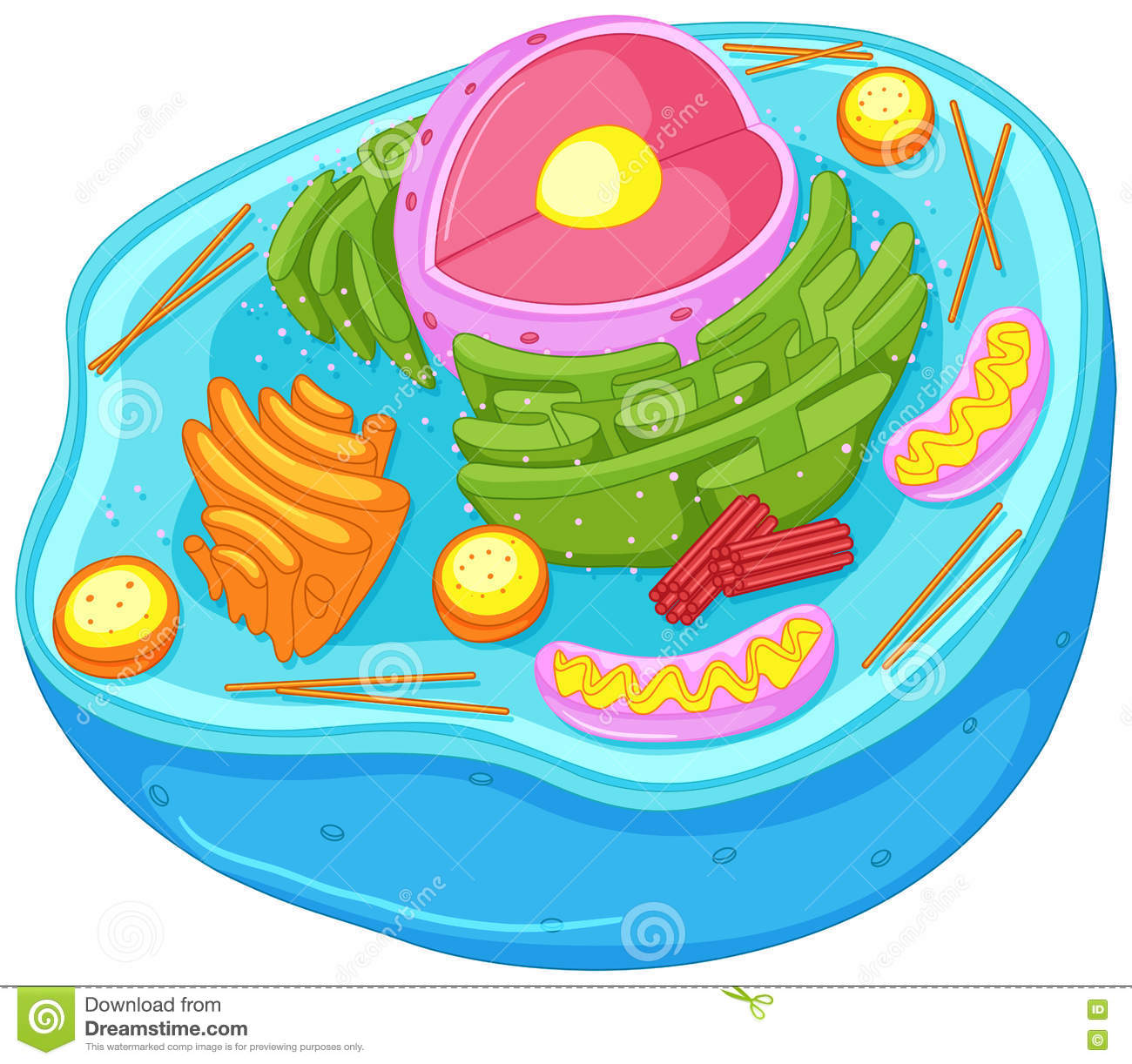 Close Up Diagram Of Animal Cell Stock Vector.