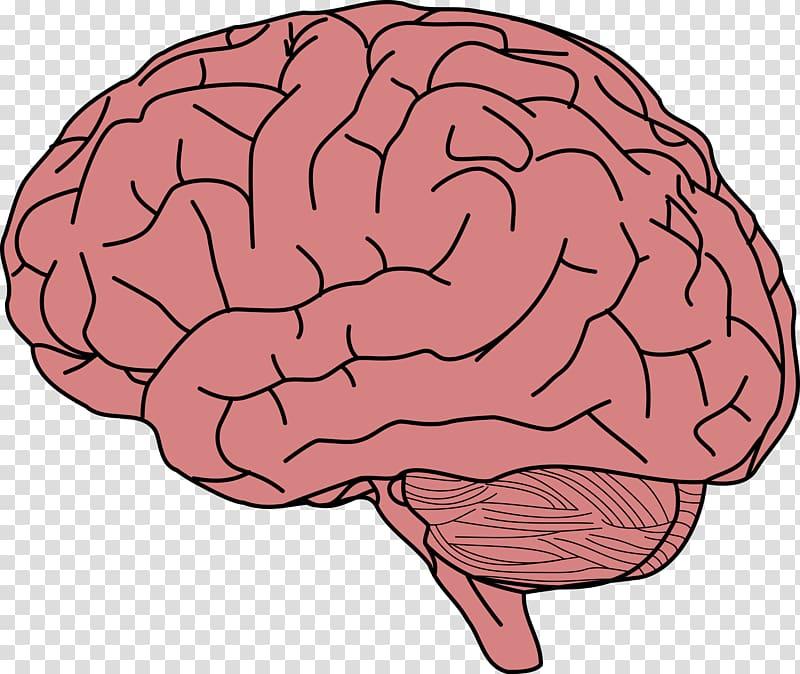 Brain illustration, Human brain Memory , Brain transparent.