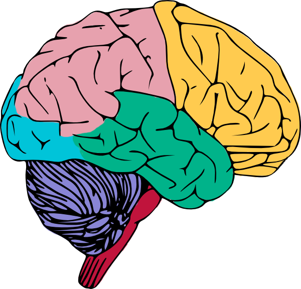 Clipart of brains 2 » Clipart Station.