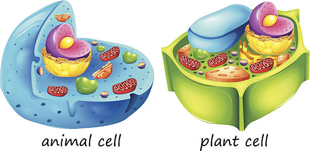 Best Plant Cell Illustrations, Royalty.