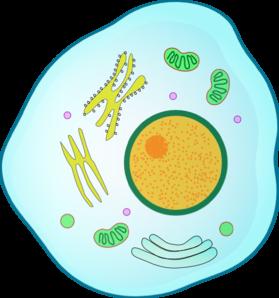 Animal Cell Clip Art at Clker.com.