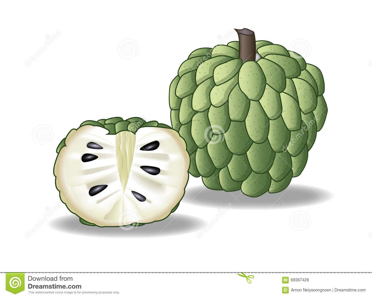 Custard Apple Stock Illustration.