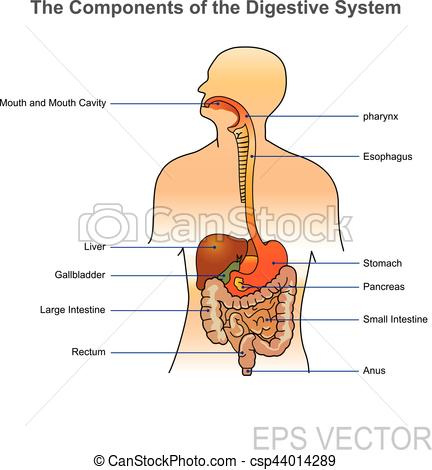 The human digestive system. Illustration..