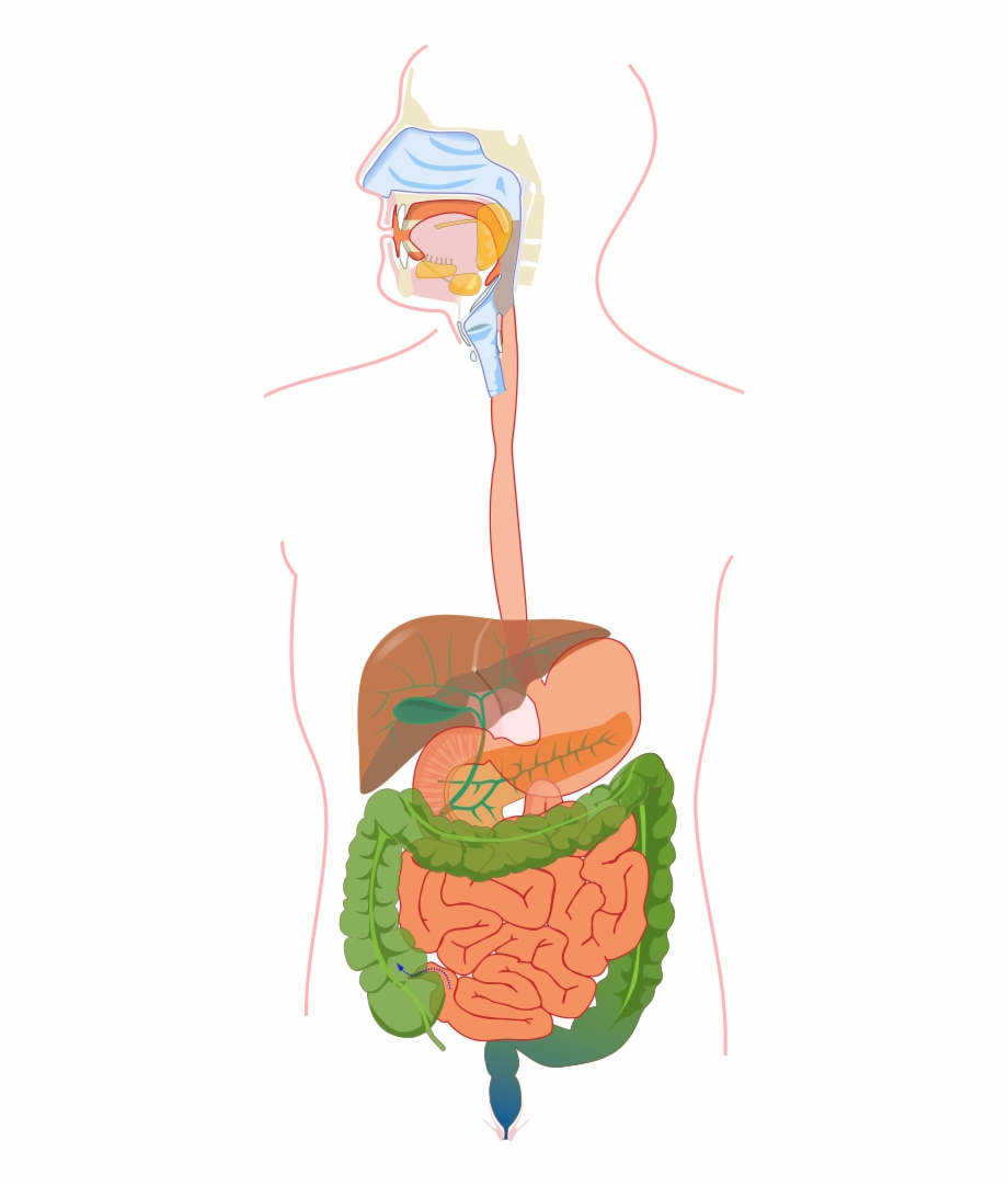 Digestive System Without Labels.