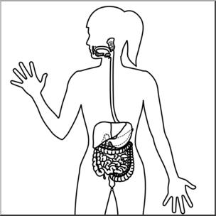Clip Art: Human Anatomy: Digestive System B&W Blank I abcteach.com.
