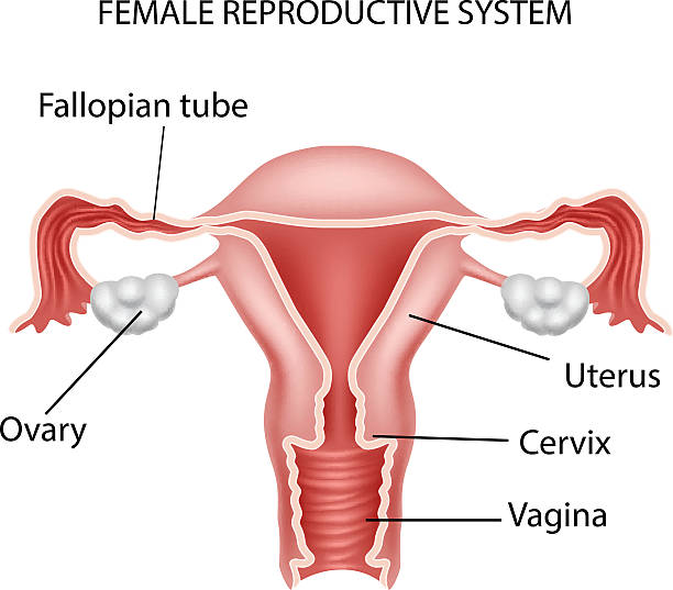 Best Female Reproductive System Illustrations, Royalty.