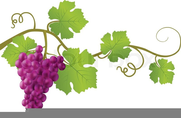 Clipart Grapes And Vines.