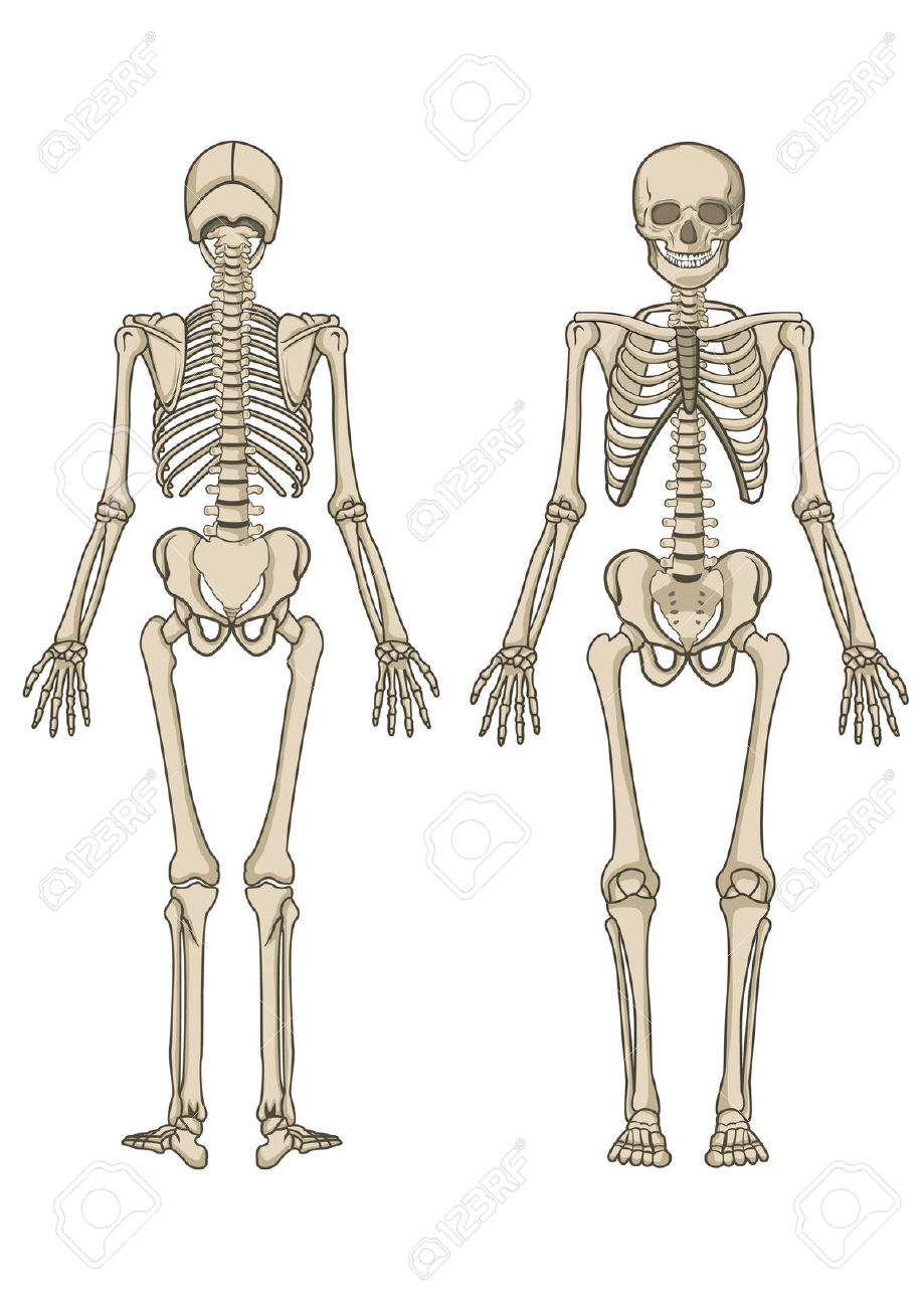 Anatomy Of Human Body Skeleton Bones Human Body Skeleton Clipart.