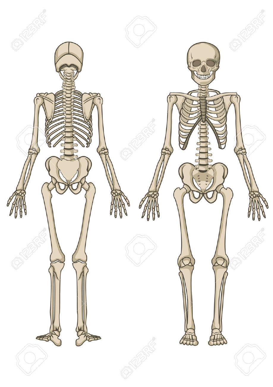 Anatomy Of Human Body Skeleton Bones Human Body Skeleton Clipart.