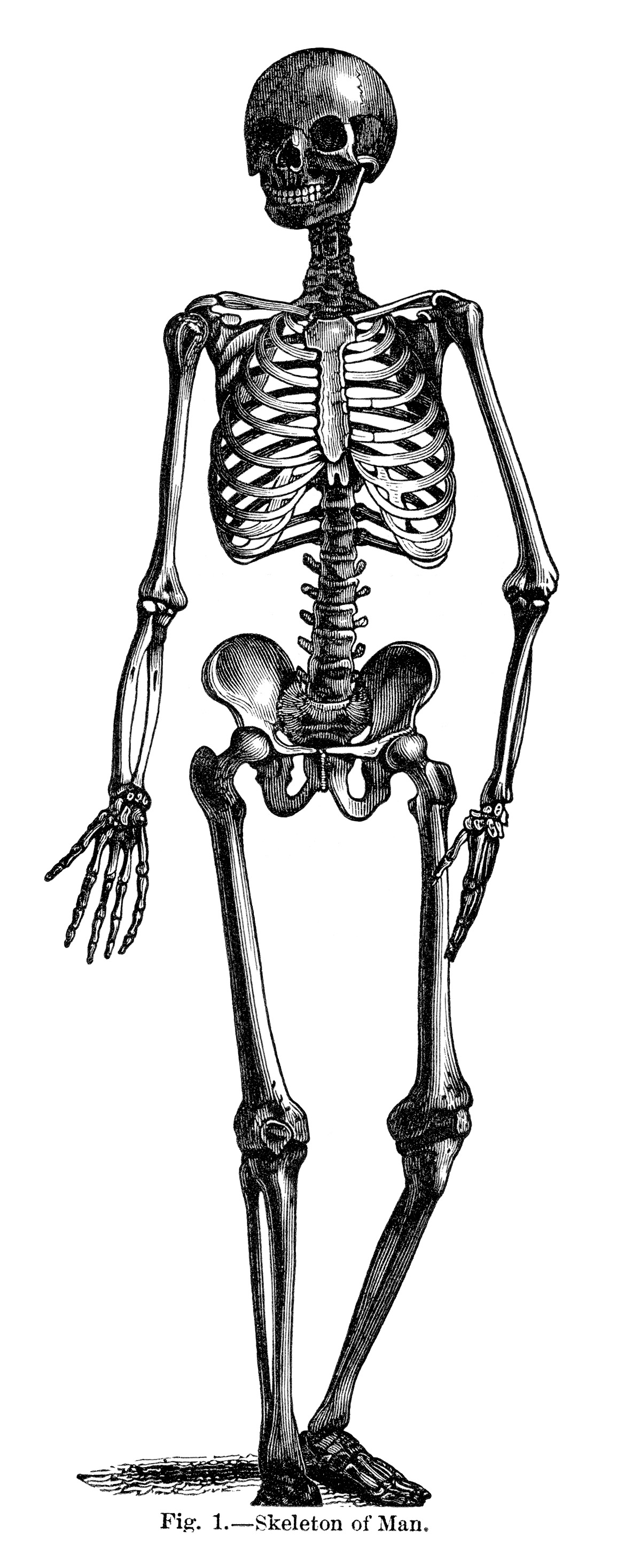 Skeleton of Man ~ Free Vintage Halloween Clip Art Illustration.