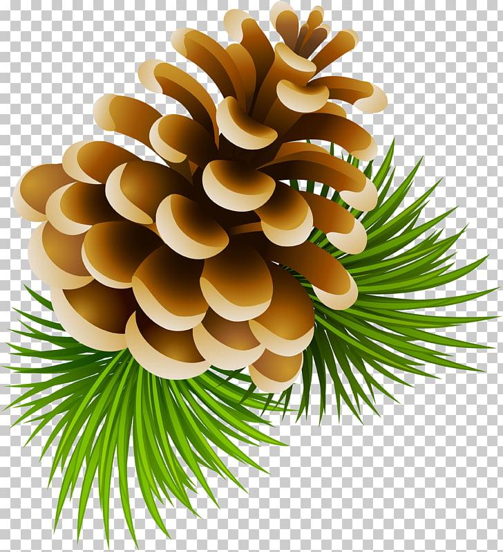 Conifer cone Pine Spruce , pine cone PNG clipart.
