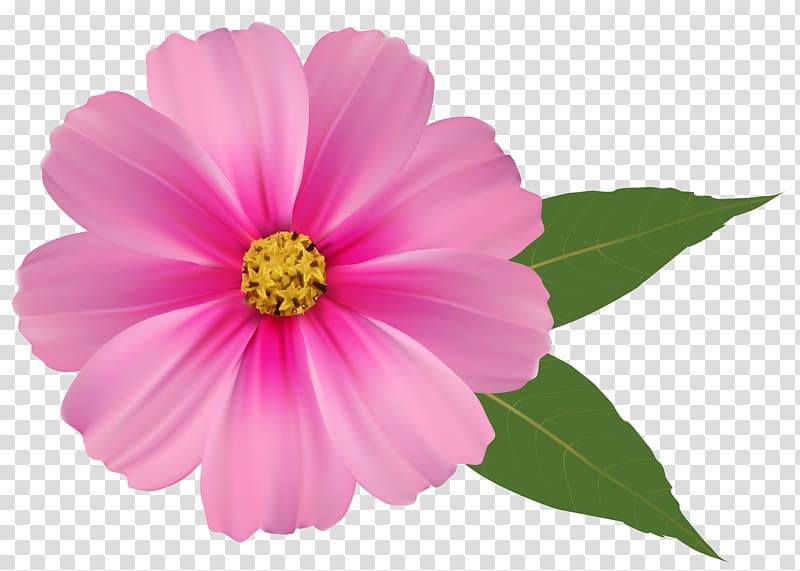 Pink flowers , Pink Flower , pink cosmos flower transparent.