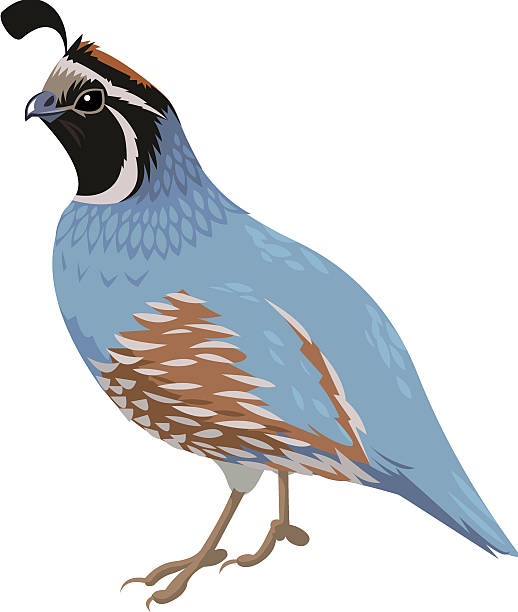 Best Quail Illustrations, Royalty.