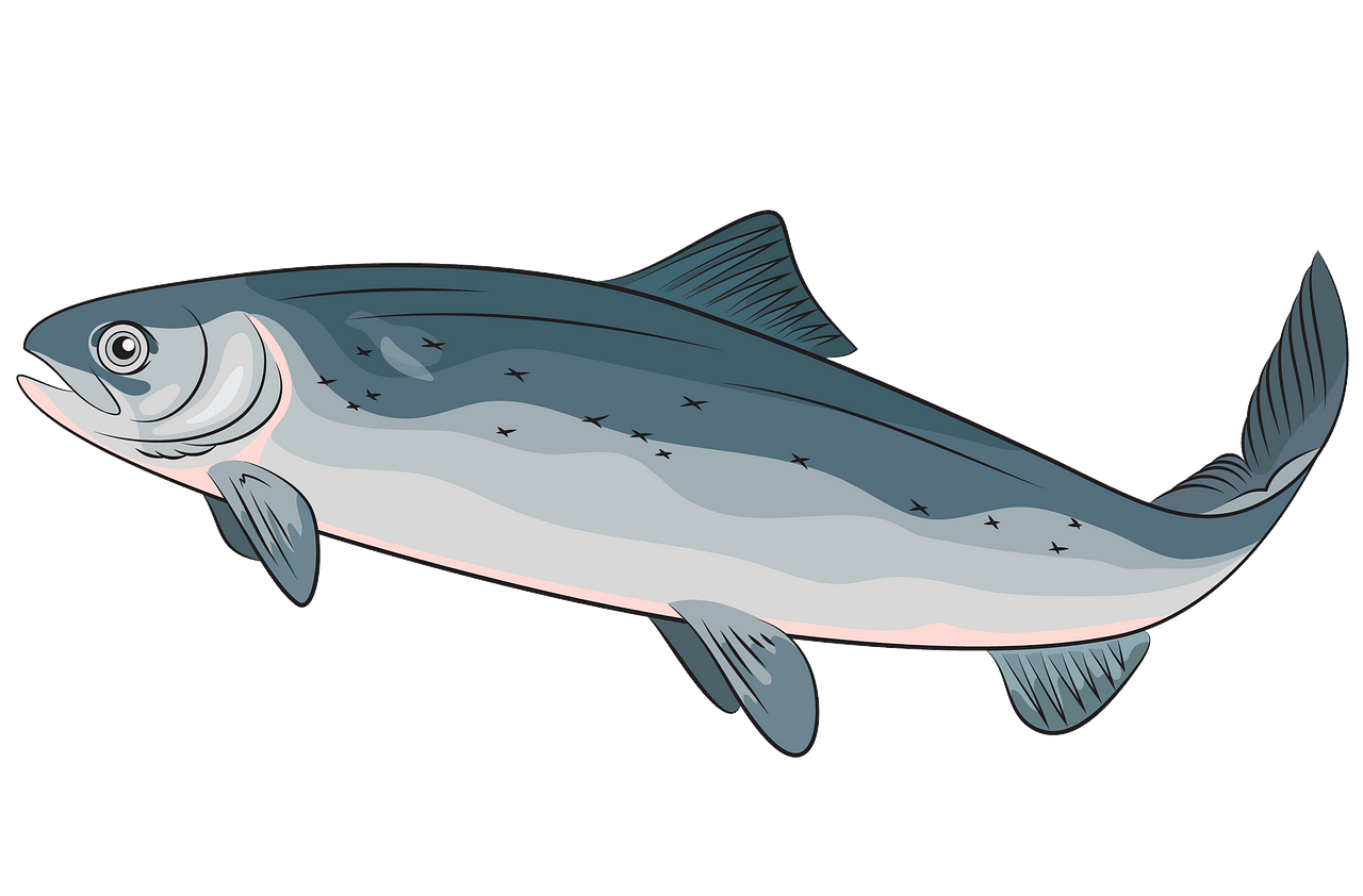 Atlantic Salmon clipart. Free download..