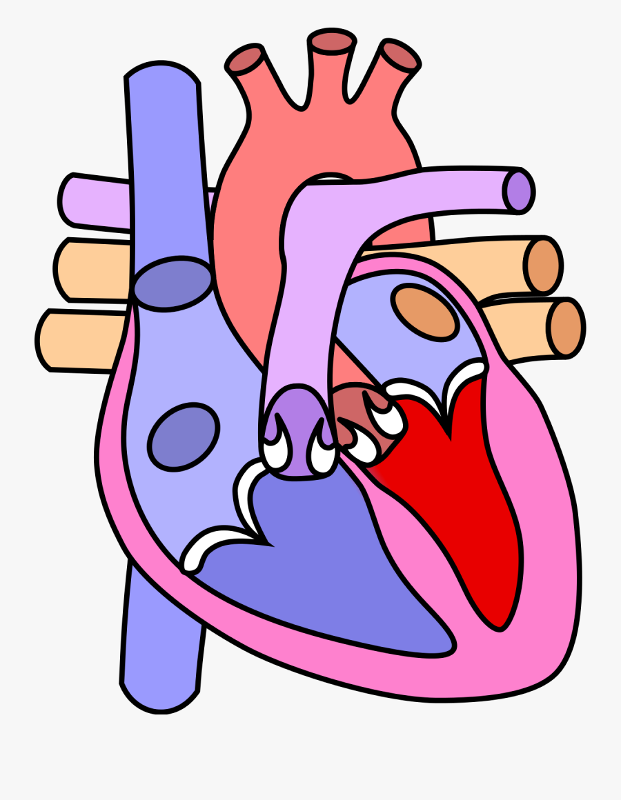 Diagram Of The Heart Without Labels.
