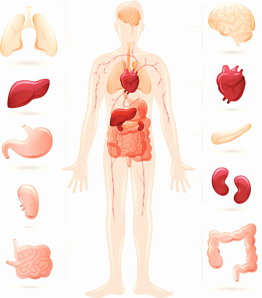 Human Body Organs Clipart at GetDrawings.com.