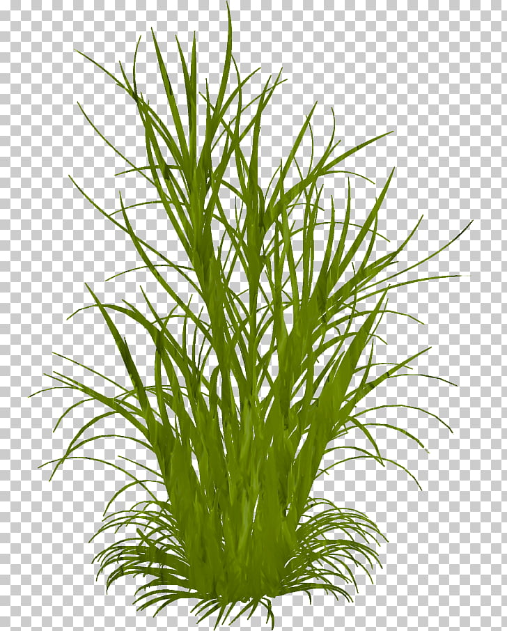 Ornamental grass Grasses Weed , others PNG clipart.