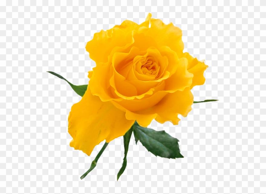 Yellow Rose Clip Art Free.