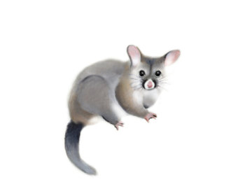 Free Opossum Cliparts, Download Free Clip Art, Free Clip Art.