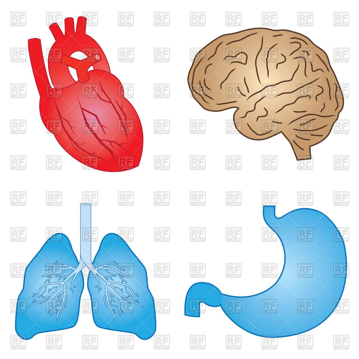 Set of human organs Stock Vector Image.