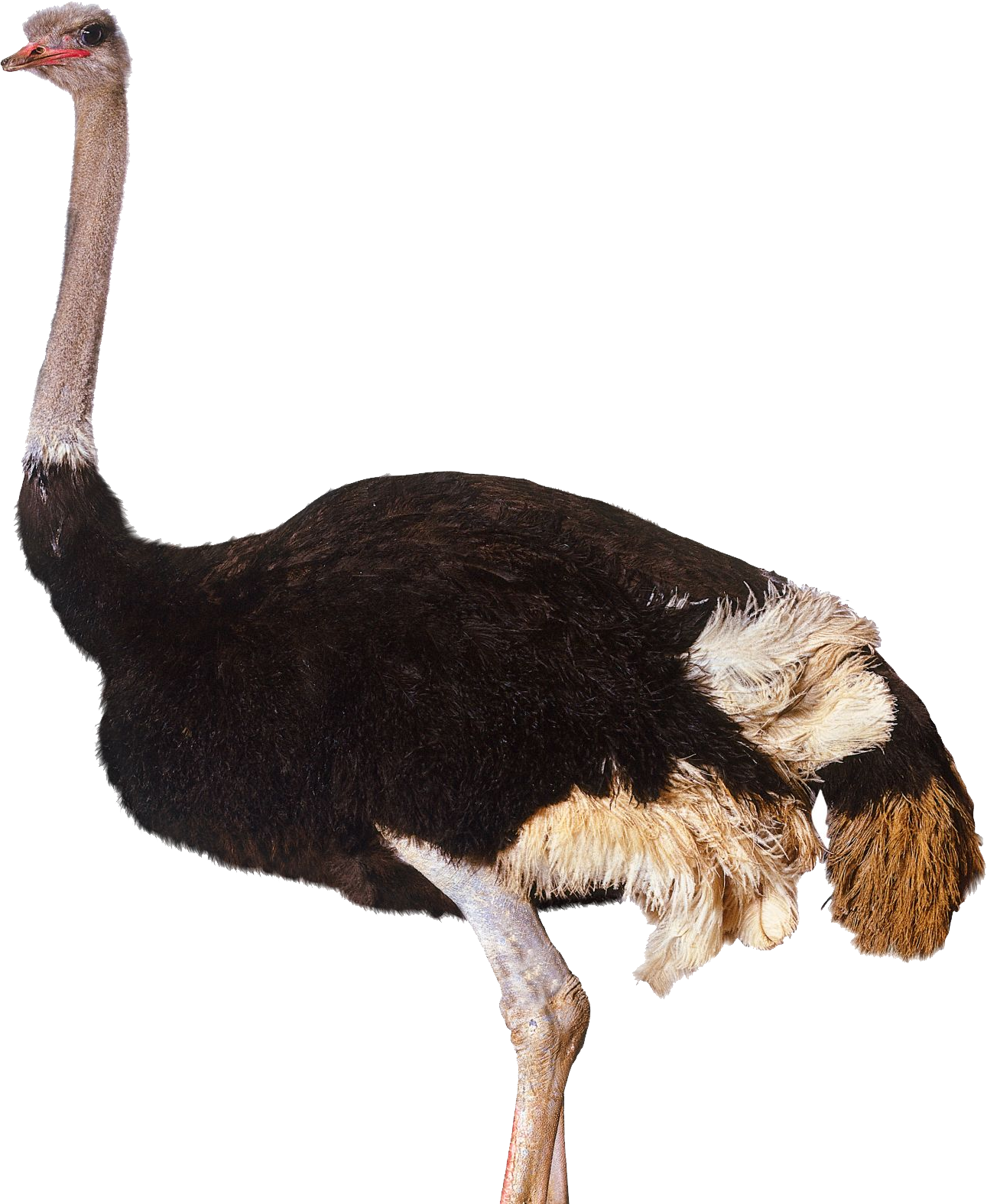 Download Ostrich PNG Clipart.