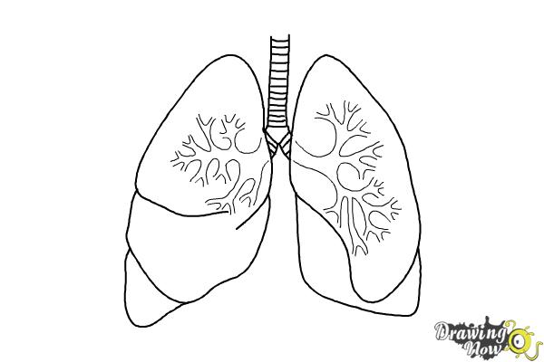 How to Draw Lungs.